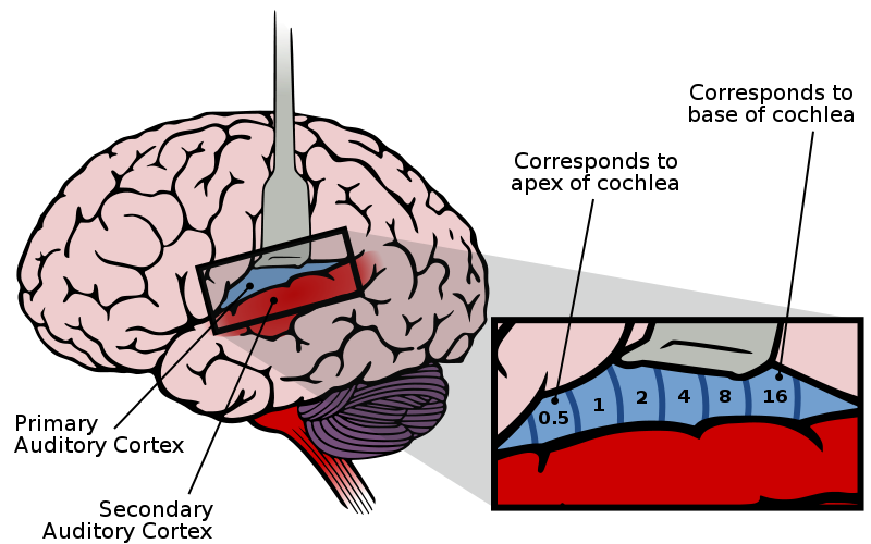 Fileauditory Cortex Frequency Mapping Svg Wikimedia Commons