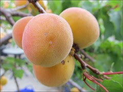Blenheim apricots are almost ripe