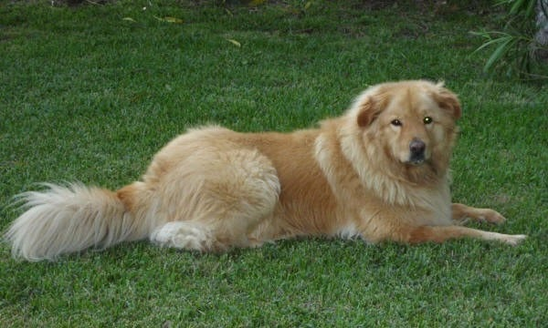 Golden Retriever Chow Mix