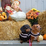 Lily and Muffin - The Doxie Life of Lily, Muffin and their Humans