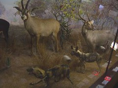 durban natural history museum - hyenas