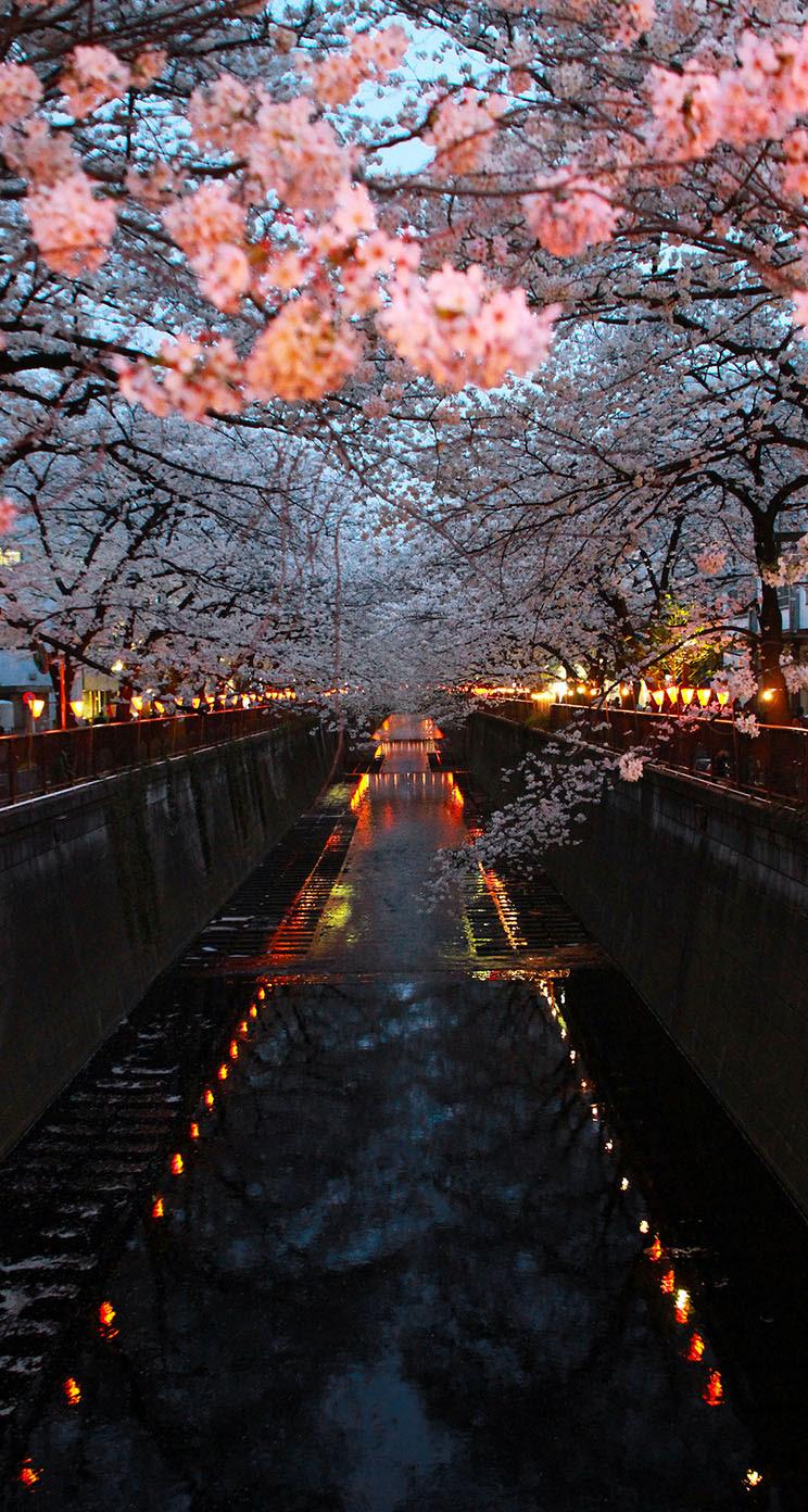 Sakura 2013 The Iphone Wallpapers