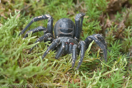 giant armored trapdoor spider, Liphistius malayanus IMG_9181 copy