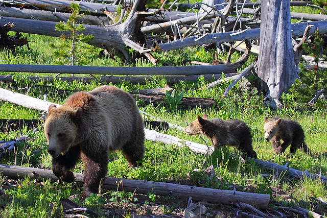 IMG_2753 Grizzly Bears, Yellowstone National Park