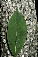 Persimmon leaf and bark