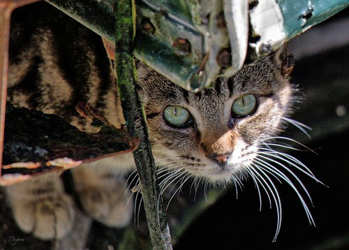 hiding feral tabby cat