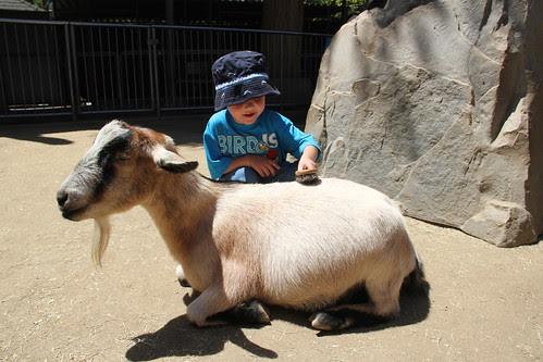 Olsen brushes his goat