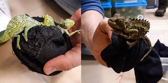 Man caught trying to smuggle 74 lizards by stuffing them into socks