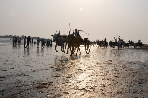 Alibagh Bullock Cart Race by firoze shakir photographerno1