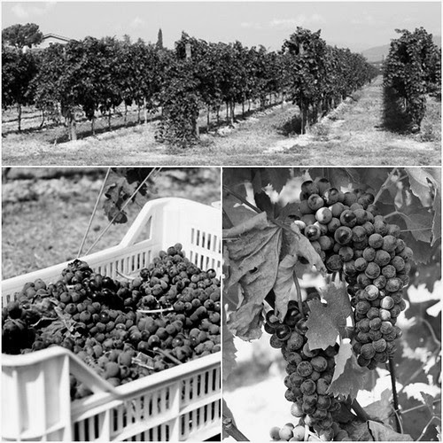 vendemmia-grape harvest