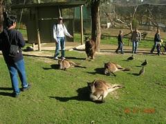 Bersama kangaroo2 yg malas di Ballarat Wildlife Park, Australia