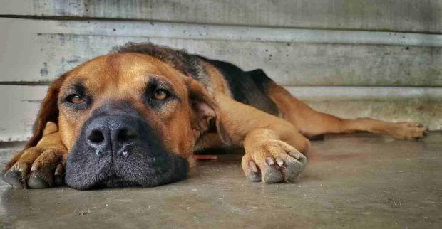 La torsión gástrica en perros