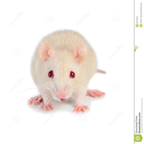 White mouse stock photo. Image of funny, hairy, cute   20701610
