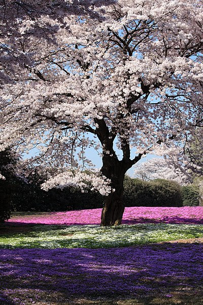 File:Sakura and Moss Pink - 桜(さくら)と芝桜(しばざくら).jpg