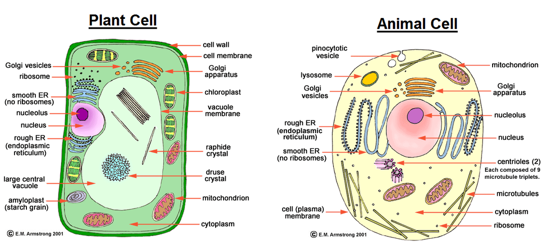 a venn diagram on plant and animal cell Science The ...