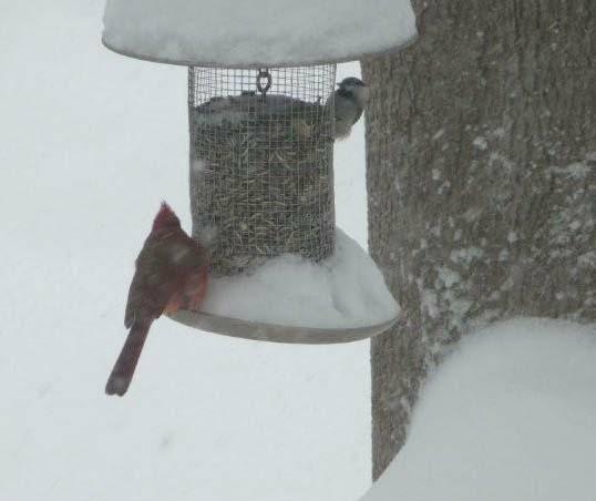 Cardinal and chickadee at feeder HomeRome.com