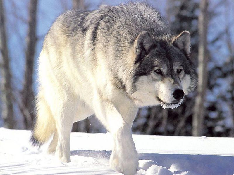 File:Canis lupus 265b.jpg