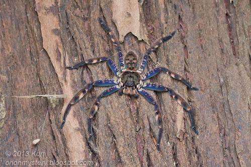 Hunstman spider - Heteropoda lunula IMG_1908 copy