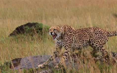 Angry Cheetah HD Desktop Wallpaper, Instagram photo