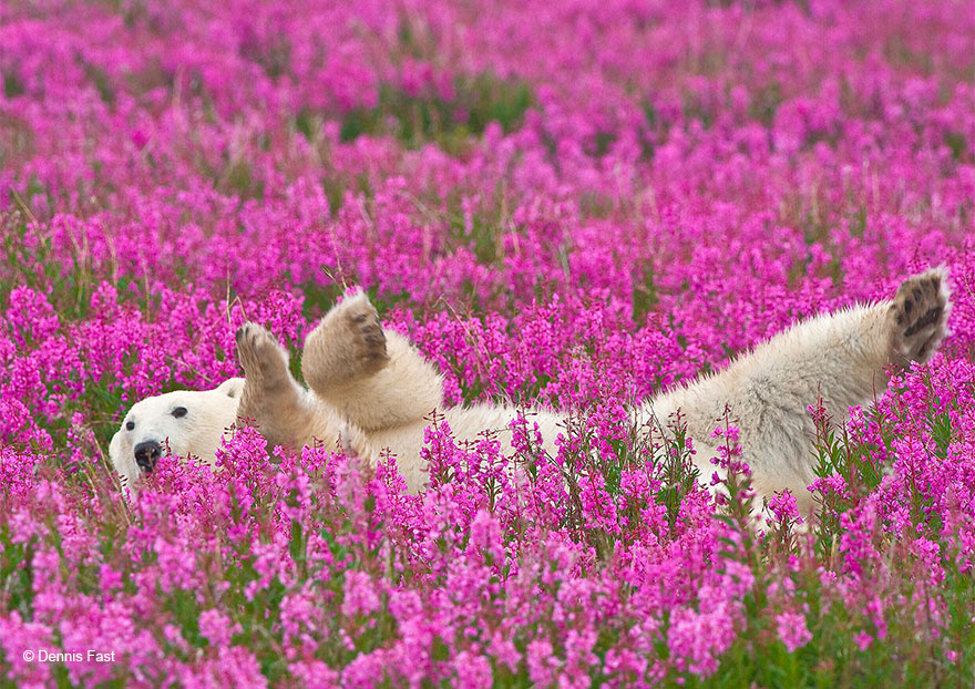 polar bear frolicking in a field of fireweed