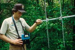 Using radio telemetry to track Indiana bats.