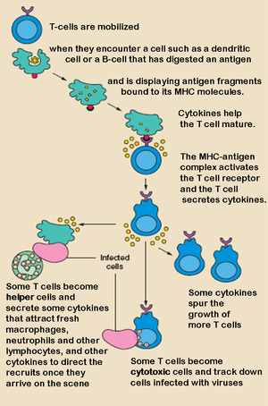 The T lymphocyte activation pathway is trigger...