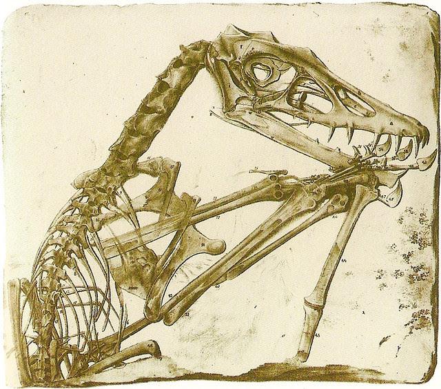 Scaphognathus crassirostris Holotype, 1831