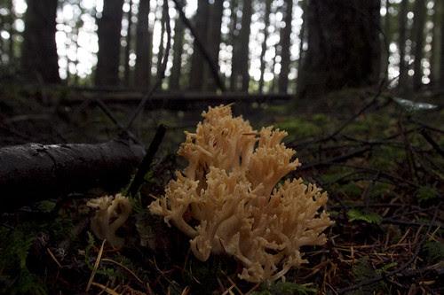 coral mushroom