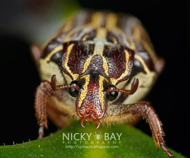 Flower Chafer Beetle (Cetoniidae) - DSC_9480