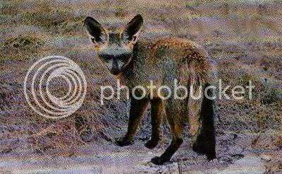 Pg3-4, BAT-EARED FOX
