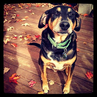 Tut getting his leaf peeping on... #dogstagram #coonhoundmix #fall #love
