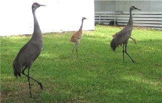 Crane Family A