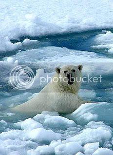 Global warming sees polar bears stranded on melting ice