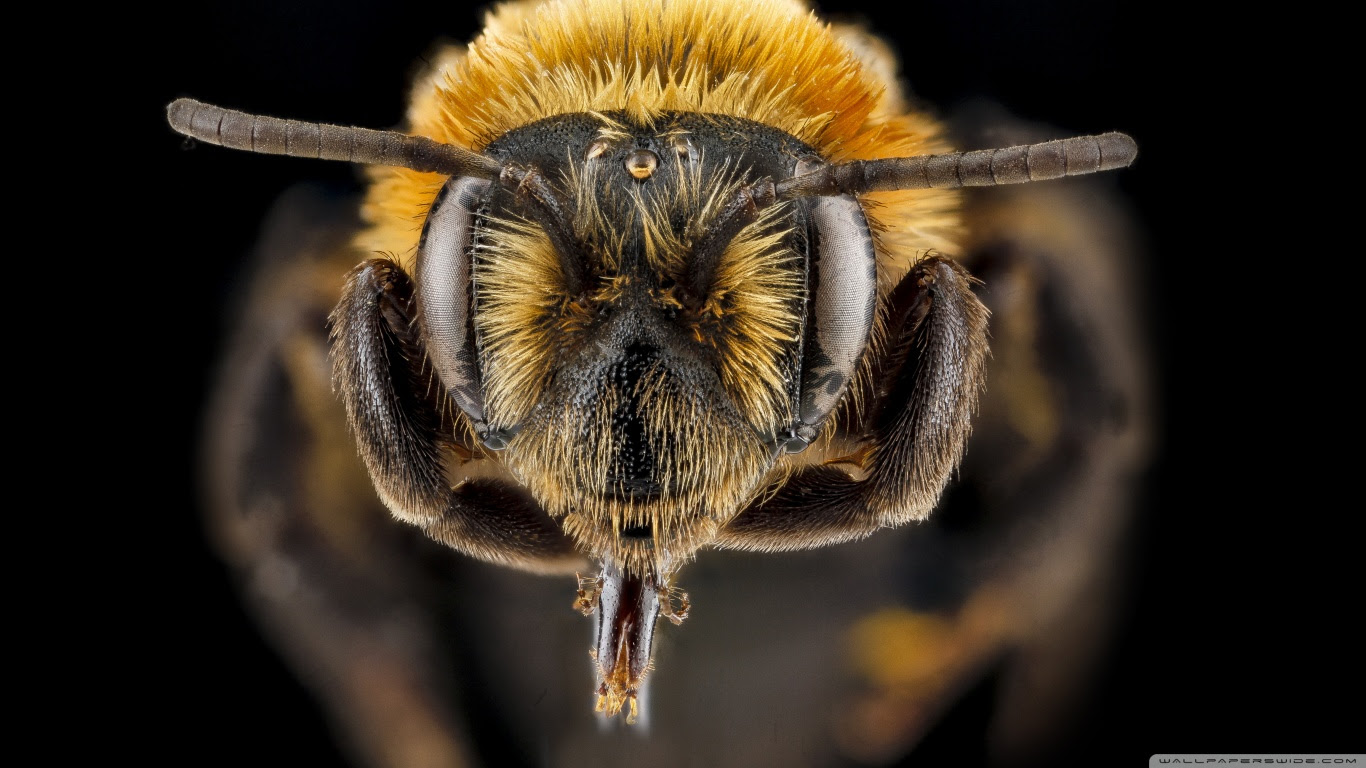 Bee Close Up Hd Wallpaper Soft Wallpapers