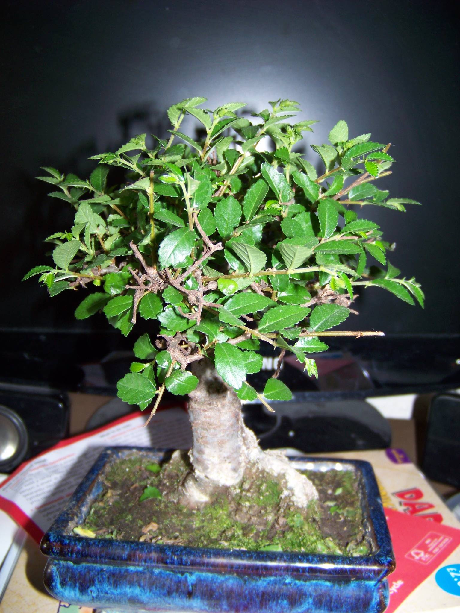 Identify Bonsai Tree Bonsai Tree