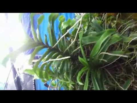 Vườn Lan Ngọc Điểm Ghép Vô Gốc Cây Lục - Rhynchostylis gigantea