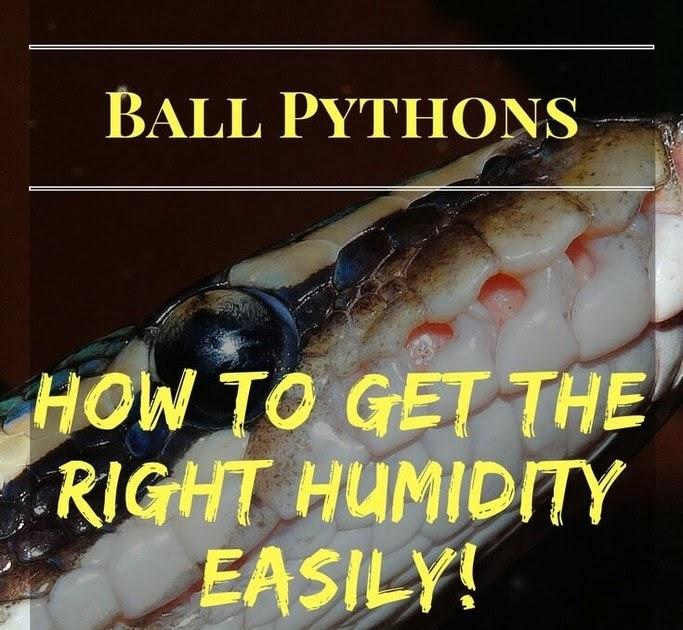 Bearded Dragon Tank: Ball Python Humidity Made Easy