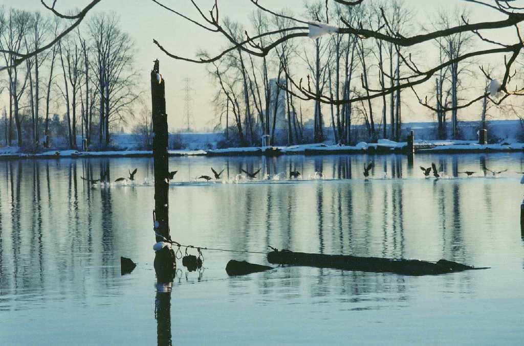 geese on Fraser river