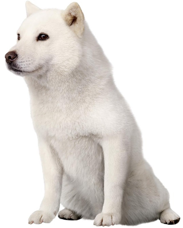 訃報ソフトバンクcmの初代お父さん北海道犬のカイくんが死去 はち