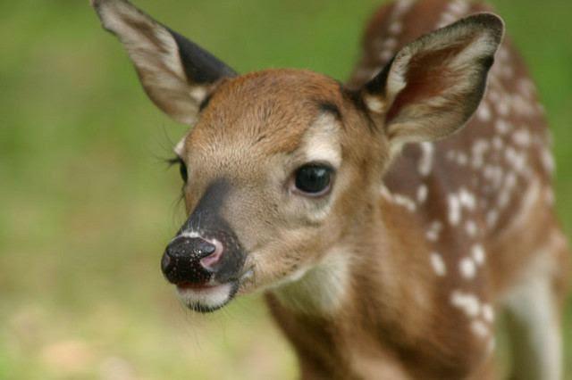 http://www.animaldanger.com/images/cutest%20deer.jpg