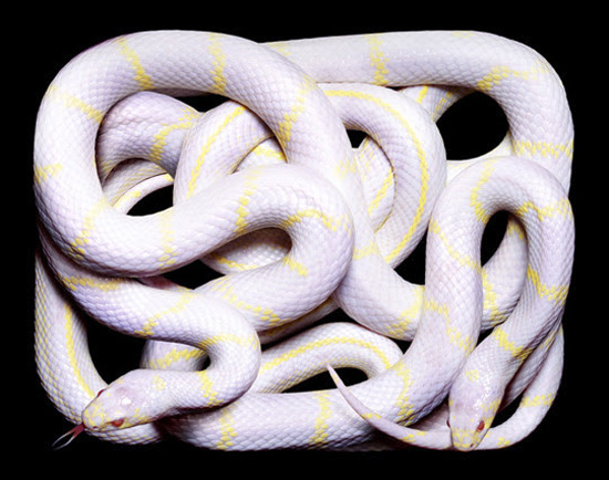 white yellow snake The Most Dangres Snakes In The World