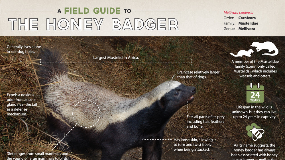 Honey Badger Infographic A Field Guide To The Honey Badger