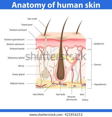Dermis Diagram