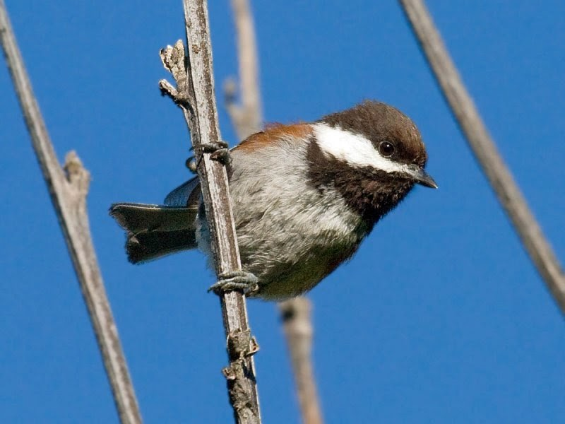In the backyard... Chestnut-backed Chickadee - Pacific NW ...