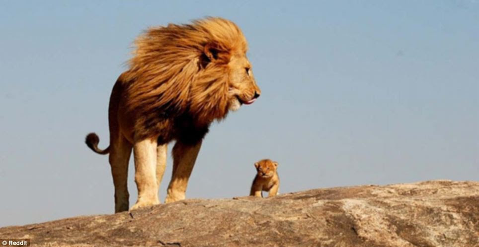 Big lion little lion