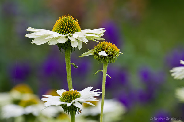 late season coneflowers