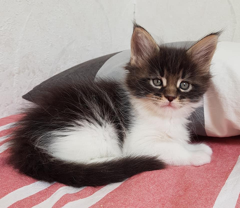 Nya Bilder Pa Kattungarna Dunderklumpens Maine Coon