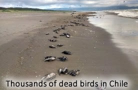 Dead seabirds in Chile