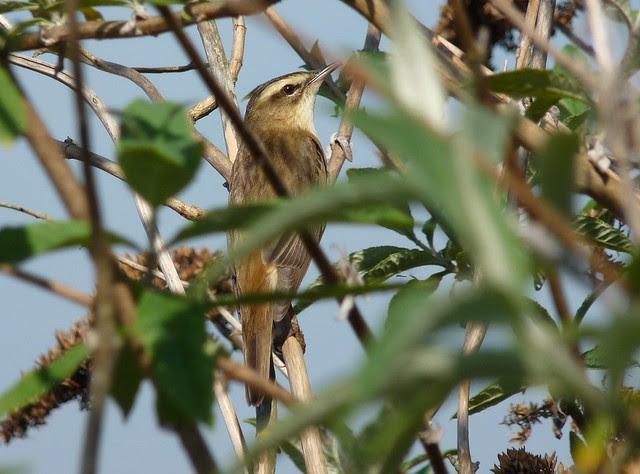 24224 - Sedge Warbler, Radipole Lake