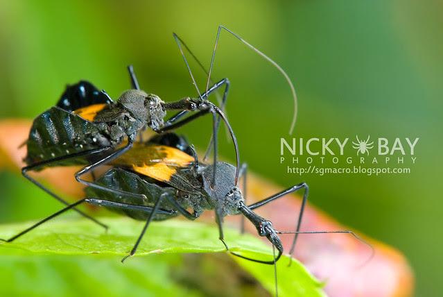 Assassin Bug (Reduviidae) - DSC_8174